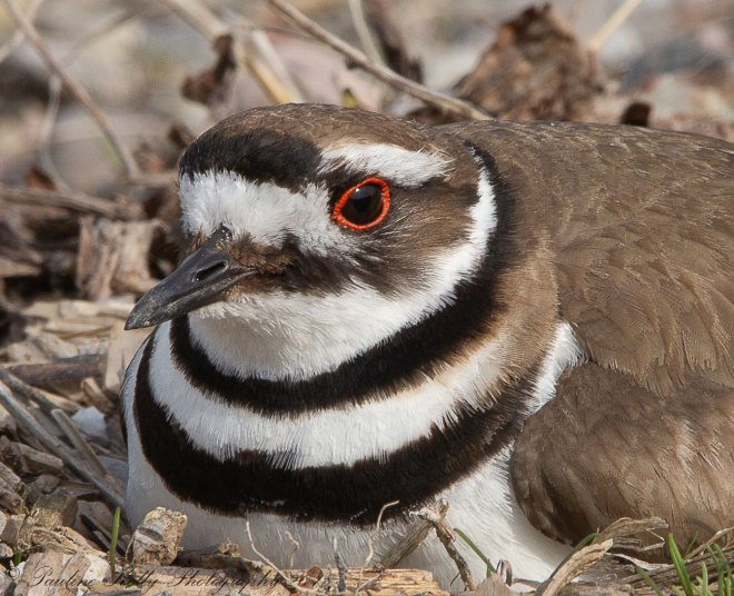 KILLDEER-(31)