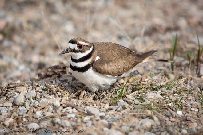 KILLDEER-(42)