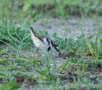 KILLDEER-BABIES-(17)
