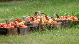 A picker was filling the peach baskets ready for market.