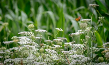 Queen Anne's Lace are attracting the monarch butterflies