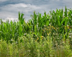 Beautiful landscape of a famers corn patch